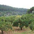 Alfabia-orangers