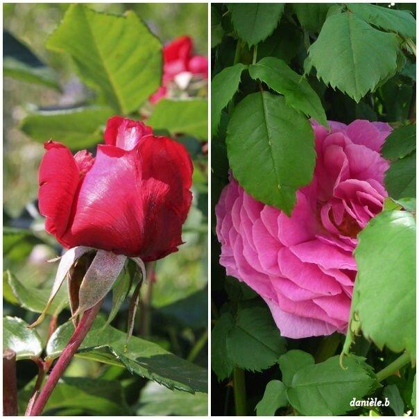 Rose JP N°37