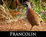 LIEN_francolin