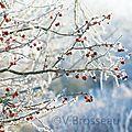branche-givrée-pomme15-01