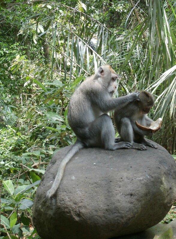 La hiérarchie selon les macaques Balinais