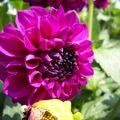 2009 08 18 Une fleur de dahlias rose