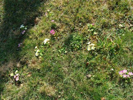 Mars12 pelouse fleurie