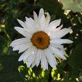 2009 07 06 Une fleur de marguerite vivace