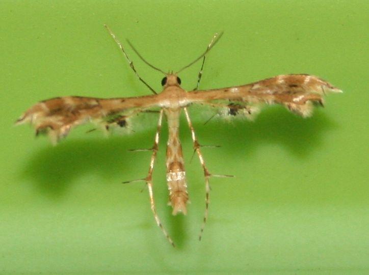 Pterophoridae sp. 03