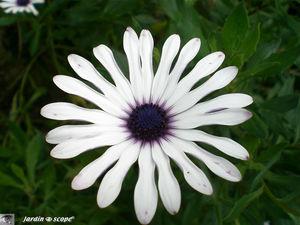 8742_Asteraceae