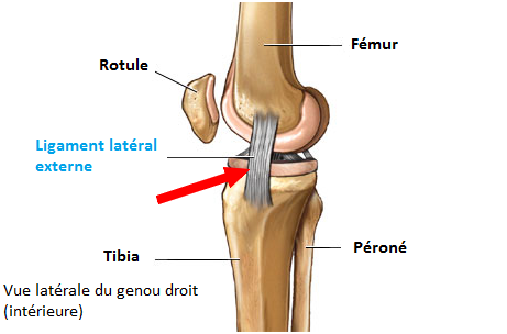 y ligament-lateral-externe