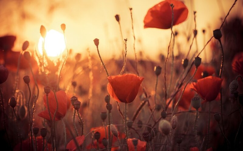 7011232-flowers-poppies-sun