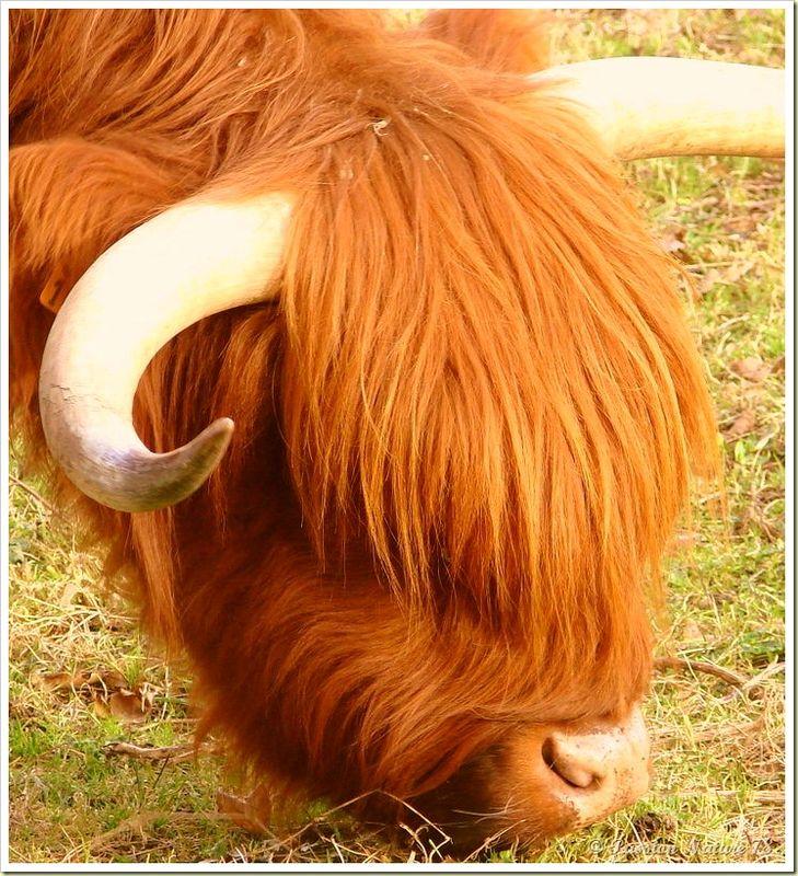 La vache de race Highland (2)