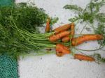 24-carottes (2)