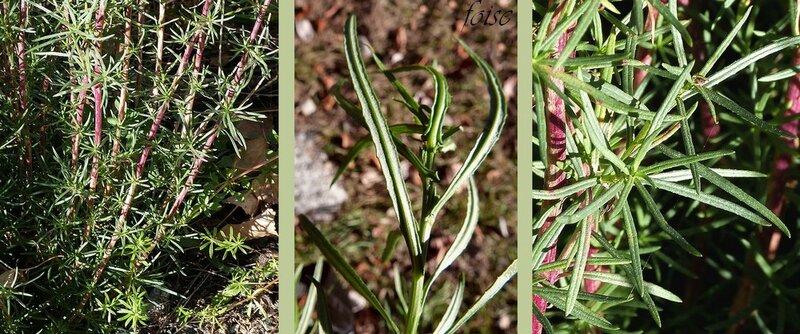 feuilles sessiles lancéolées-linéaires entières ou marquées de dents très courtes