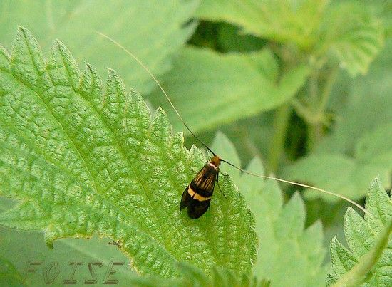 Adelidae_sp
