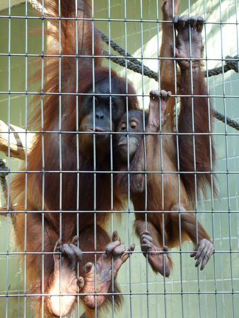 Orang_utan_mother_and_baby_Zoo_Frankfurt_Rovdyr_1_