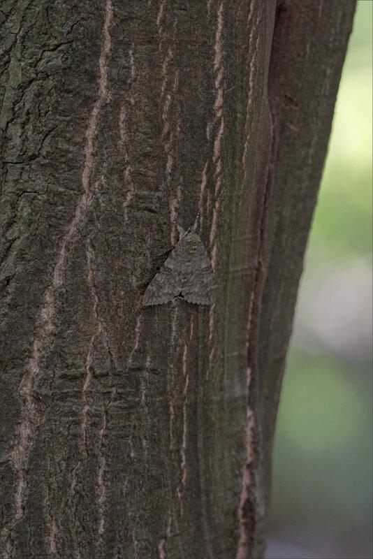 Galuchet papill de nuit arbre 1 280817