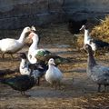 2009 10 27 Les canards