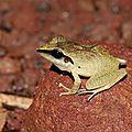 Pristimantis chiastonotus - Hylode porte-x