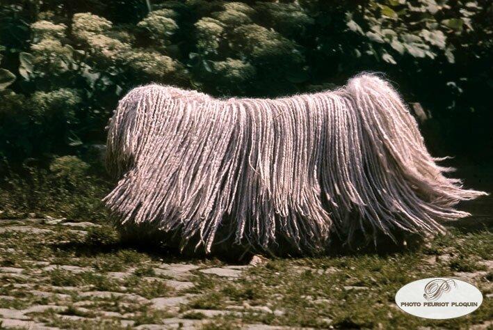 Deux chiens extraordinaires : le Puli et le Komondor de Hongrie !