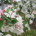 Pommier en fleurs