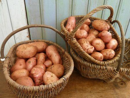 12-pommes de terre MIRA (1)