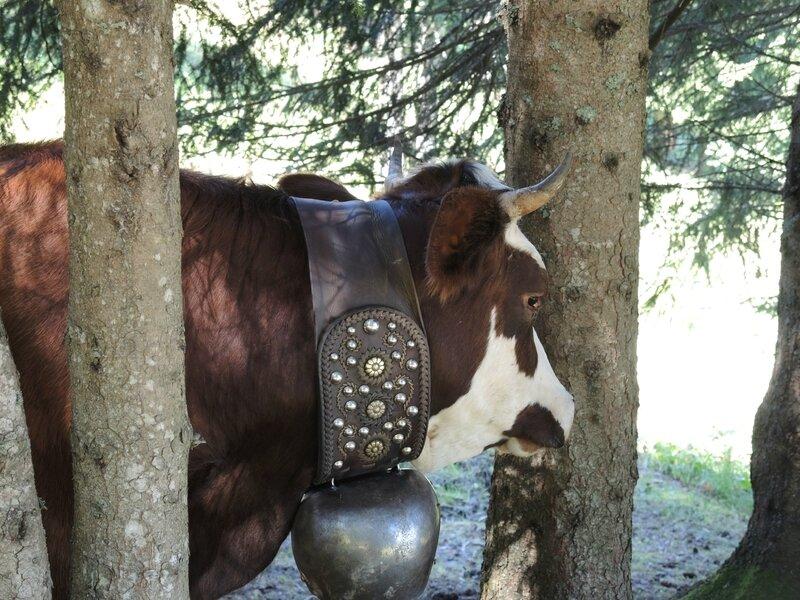 Cordon, randonnée belvédère, vache et cloche (74)