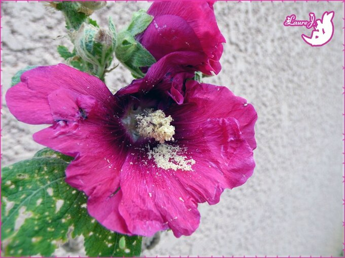 Rose tremiere 2