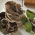 Polypore changeant ou Trametes versicolor ou Coriolus versicolor