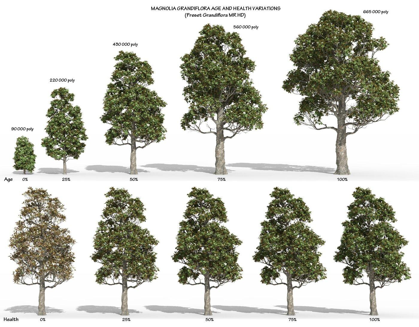 Magnolia grandiflora - 3D plant model creation