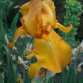 Iris 'Radiant summer'