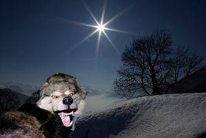Le loup et l'étoile