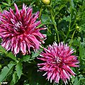 Dahlia Colorama (Label Rouge)