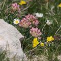 2009 06 29 Fleurs sauvages sur le shauteurs du Grand Veymont sur le point culminant du Vercors (12)