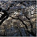 Cherry blossom Seattle 3