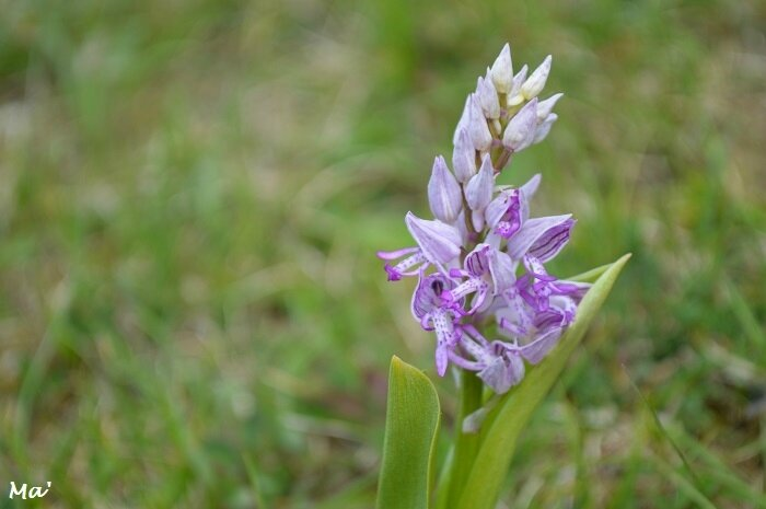 170416_Combovin_6_orchis_guerrier