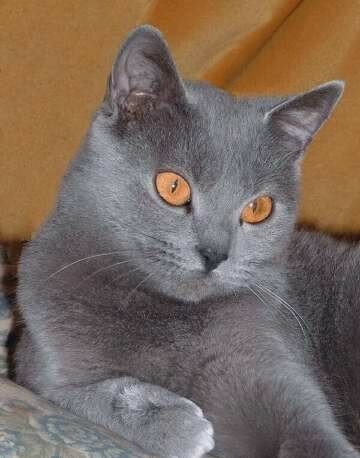 Ruby -chartreux