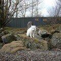 Bébé loup nordique, zoo