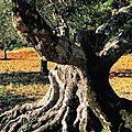 L'olivier, arbre éternel et élixir de jouvence