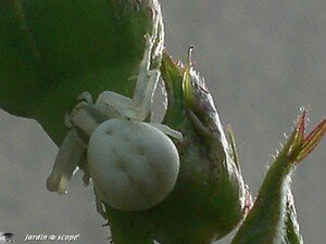 Thomise variable • Thomise misumena vatia