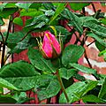 Bouton de rose 010515