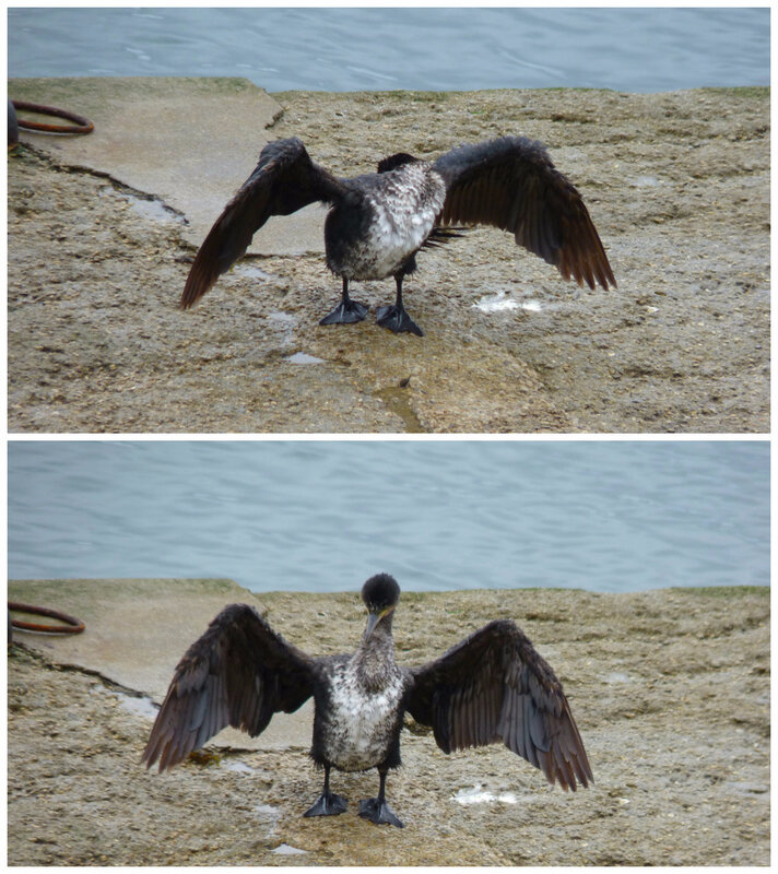 7 cormoran