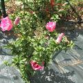 Ibiscus Dark Pink 1 - Août 09