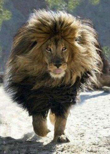 photo lion