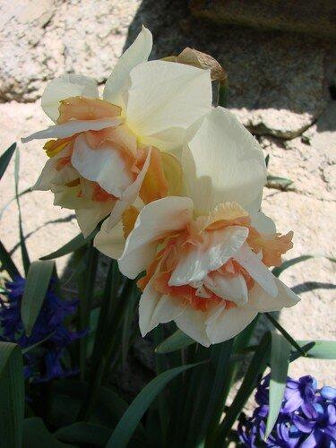 2008 04 05 Deux fleurs de Narcisses double