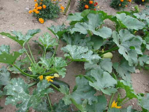 2008 08 08 un plant de courgette et un de courge spaghetti photo de c mes l gumes et fruits. Black Bedroom Furniture Sets. Home Design Ideas