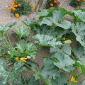 2008 08 08 Un plant de courgette et un de courge spaghetti