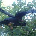 2009 08 30 Le choucas qui nous rend visite (17)