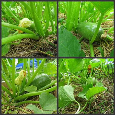 courgettes250720102