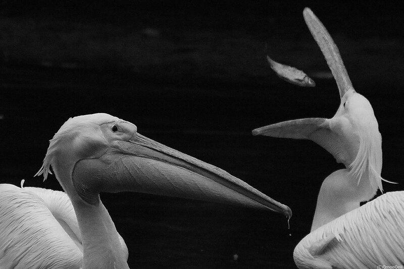 pelicanito2