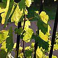 04-11-11 Le pied de vigne