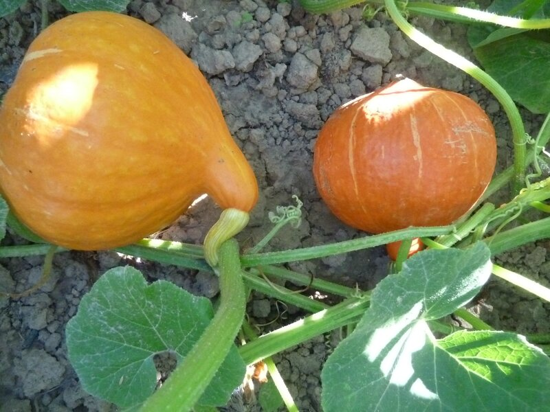 15-courges (87)