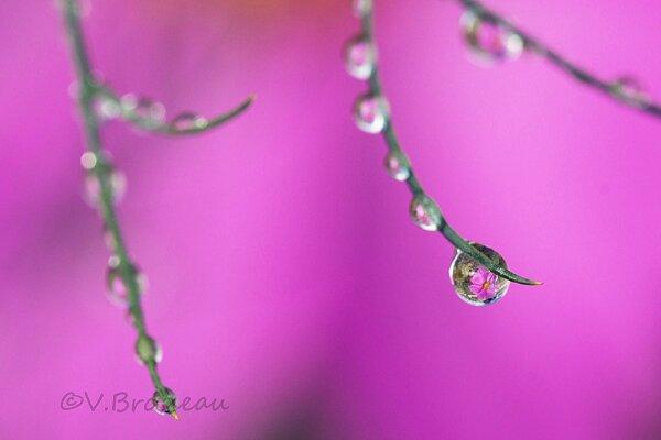 gouttes-sur fleurs de cosmos